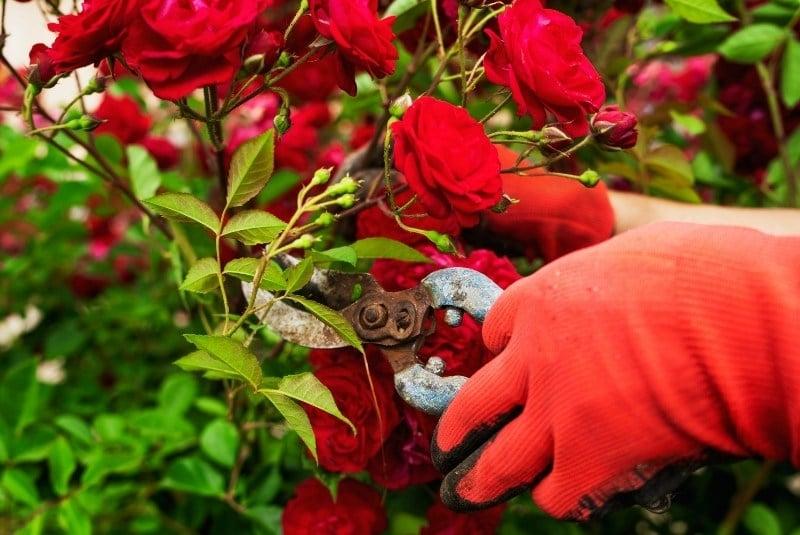 Rosenhandschuhe als Schuz vor Rosendornen